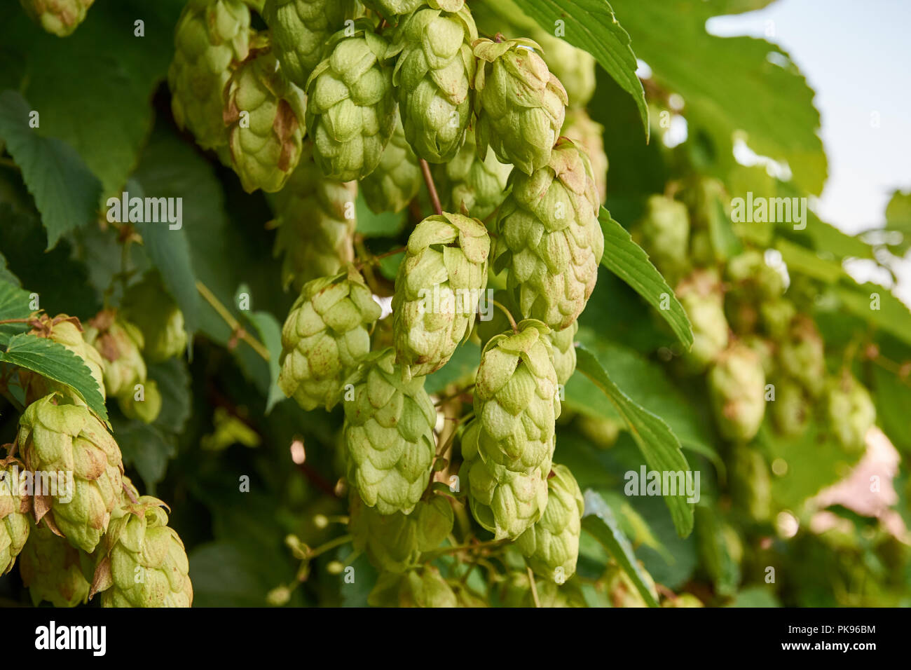 Close-up of plant, cones and hops leaves with defocused background - Stock Image