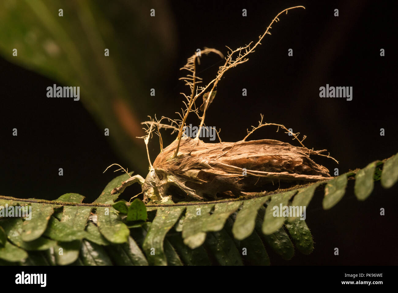 A moth that has been taken over by a body snatching fungus that has killed it and is now growing from its body spreading spores. - Stock Image
