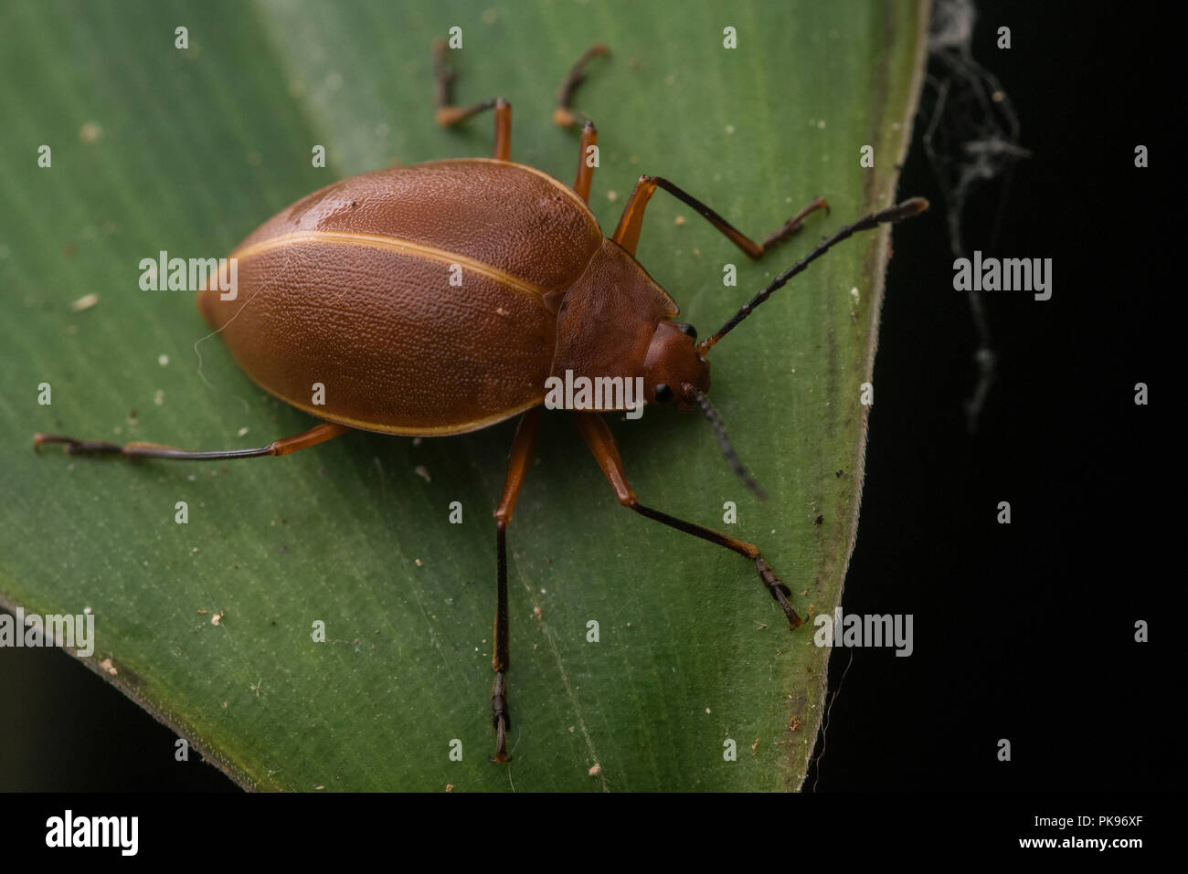 A orange leaf beetle or perhaps fungus beetle from the jungle in South America. - Stock Image
