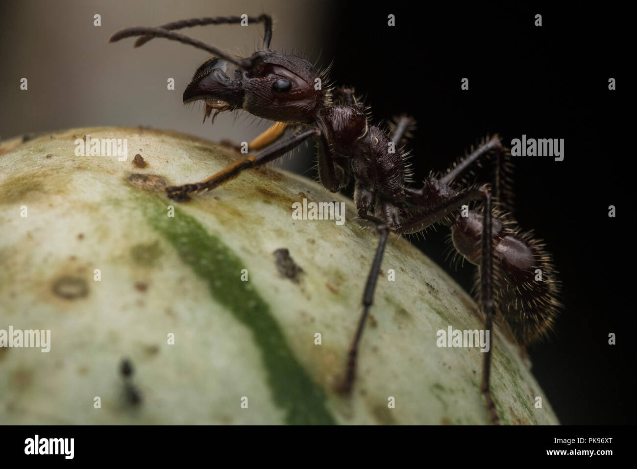 A bullet ant (Paraponera clavata) the most infamous of insects. It gets its notoriety from having one of the most painful stings in the world. Stock Photo
