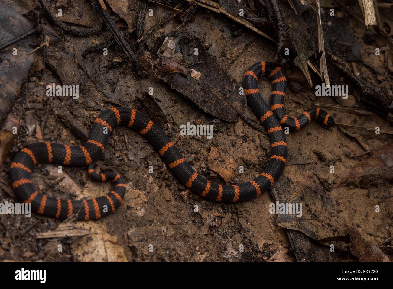 Dangerously venomous Micrurus annellatus from Madre de ...
