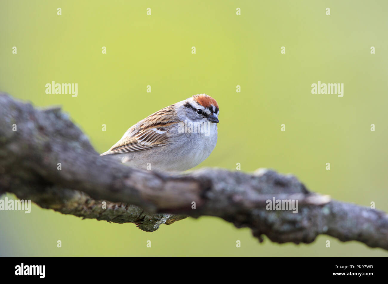 Chipping sparrow (Spizella passerina) on tree branch - Stock Image