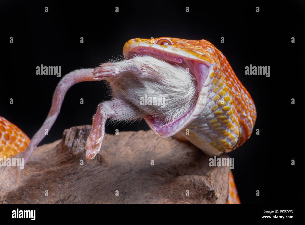 A corn snake feeding on a mouse, The snake has its jaws wide open and a white mouse is being eaten. It is set against a black background - Stock Image
