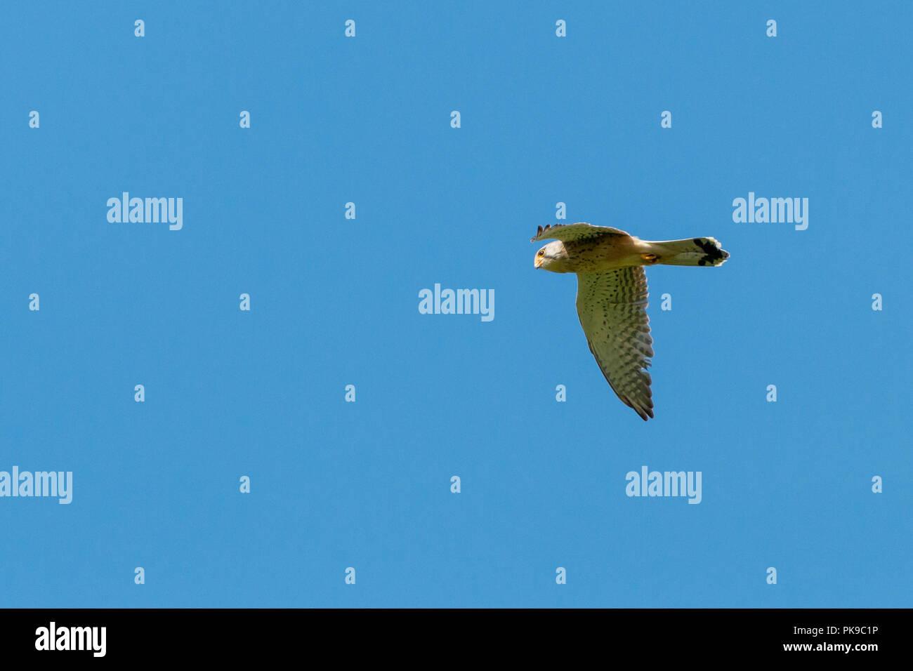 Hunting Common Kestrel Falco tinnunculus flying under blue sky in Eastbrookend park in Dagenham, England - Stock Image