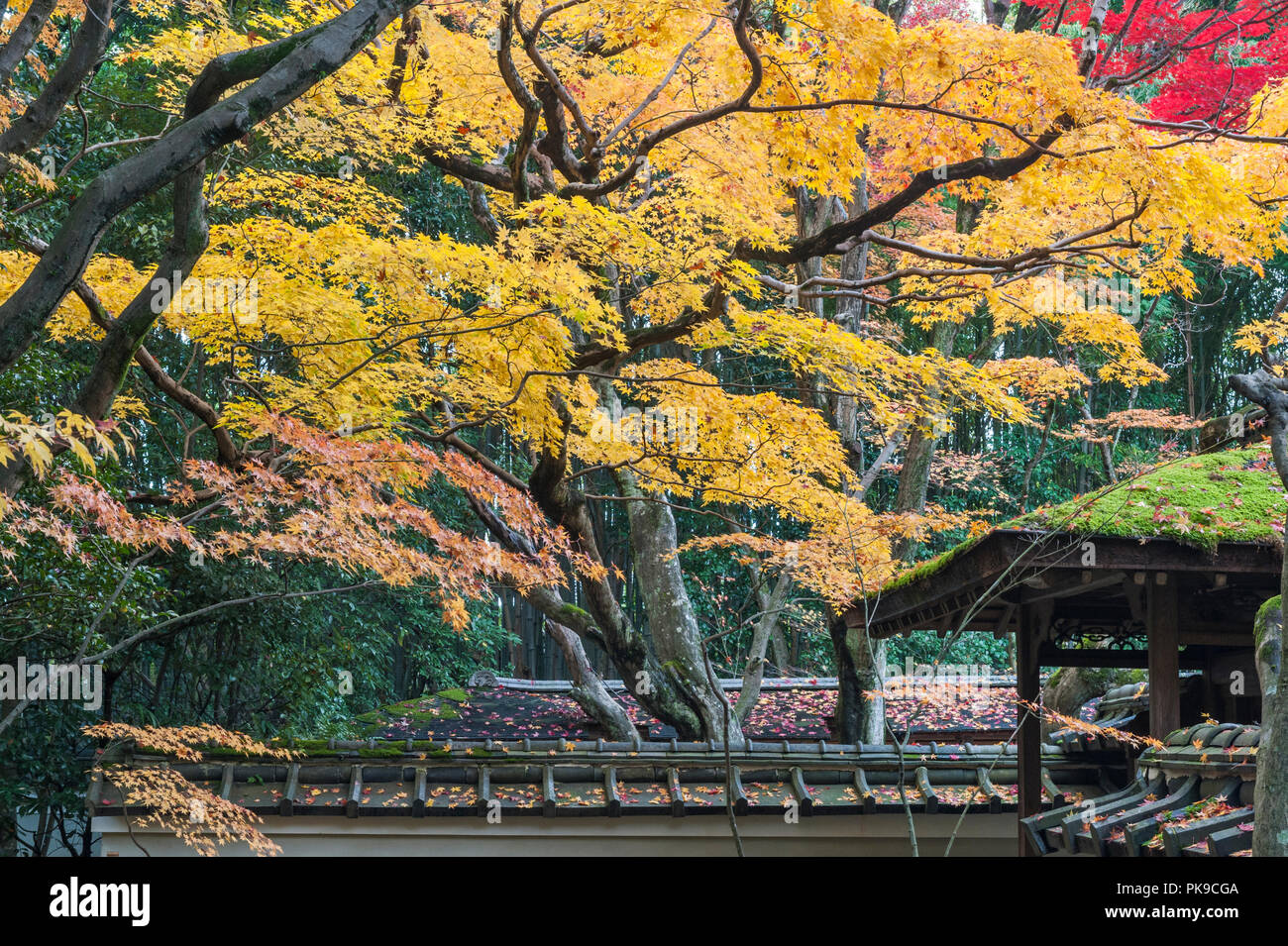 Daitoku-ji, Kyoto, Japan. Colourful autumn foliage hangs over the roofs of Koto-in zen temple - Stock Image