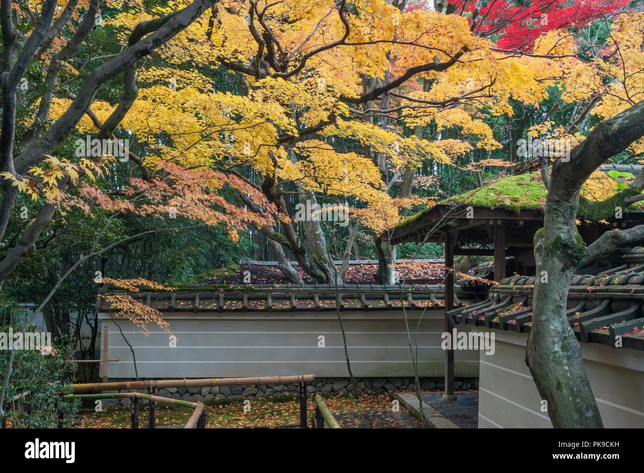 Daitoku-ji, Kyoto, Japan. Colourful autumn foliage hangs over the gate into Koto-in zen temple - Stock Image