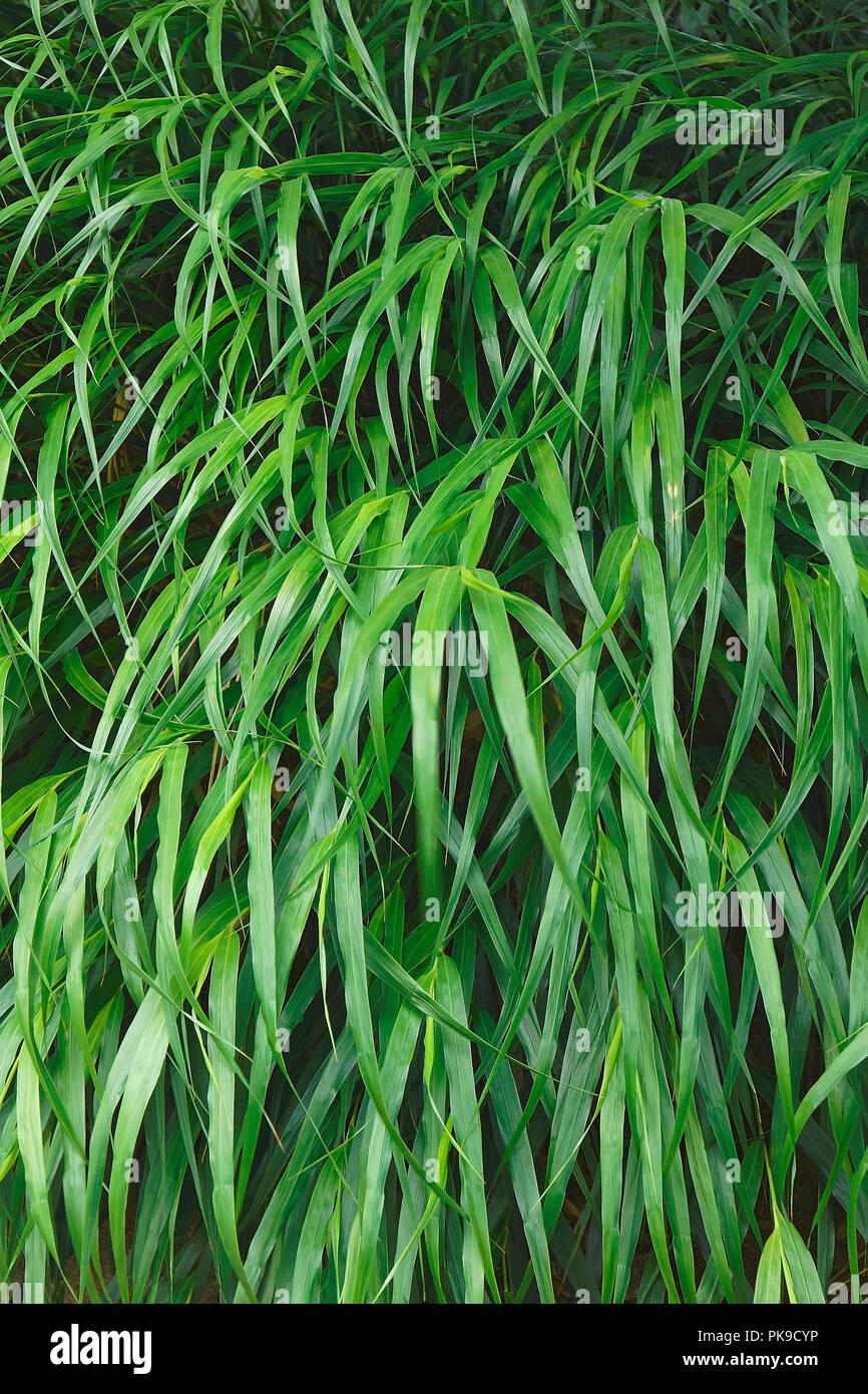 Japanese forest grass (Hakonechloa macra Beni-kaze). Called Beni Kaze hakone grass also. Stock Photo