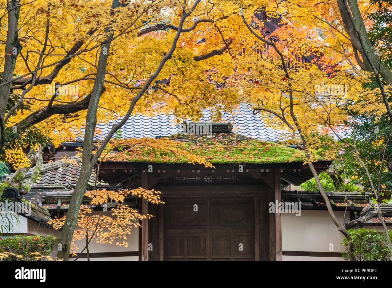 Autumn colour in Japan. Daitoku-ji, Kyoto. Colourful autumn foliage hangs over the gate into Koto-in zen temple - Stock Image