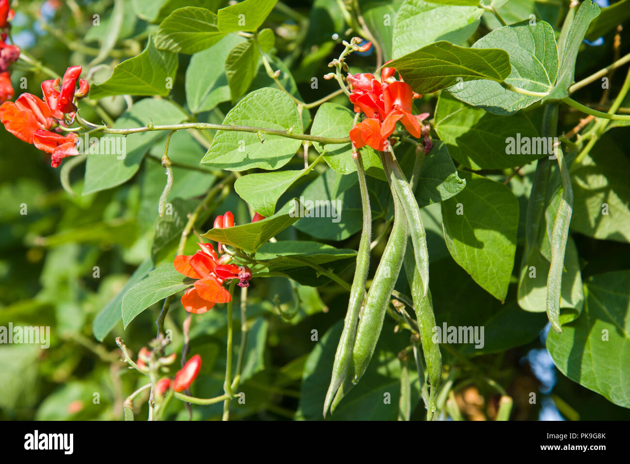 Runner beans, Enorma, growing on the plant - Stock Image