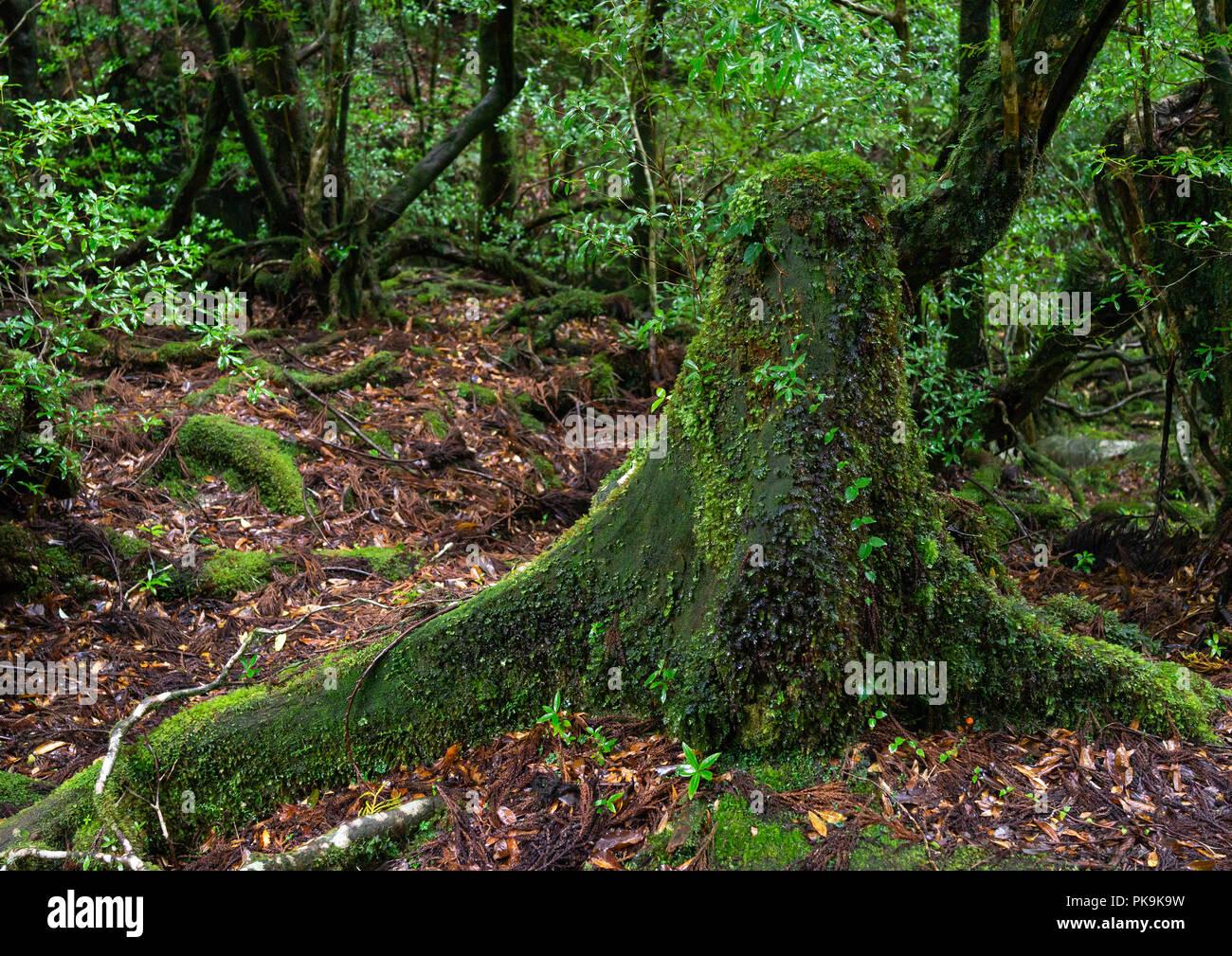 Tree trunk with moss in Yakusugi land, Kagoshima Prefecture, Yakushima, Japan Stock Photo
