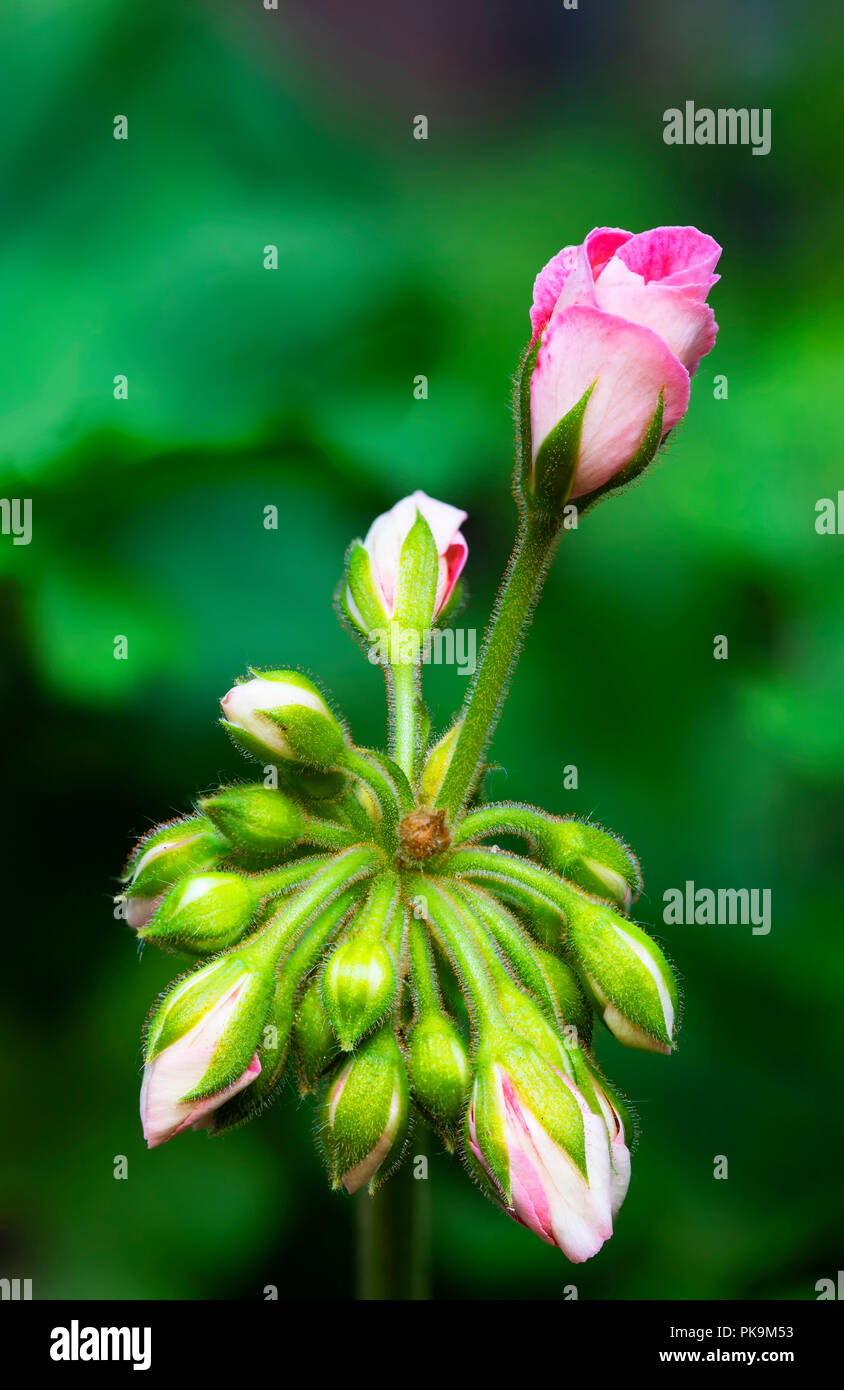 A bunch of pink geranium flower buds, with one in the process of opening.  Multiple images combined using focus stacking. - Stock Image