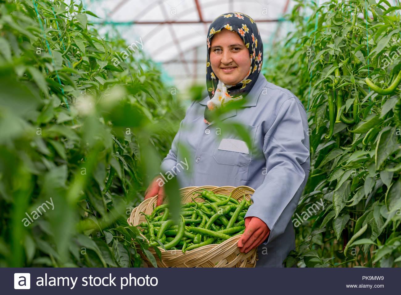 Female farmer harvesting green pepper in greenhouse - Stock Image