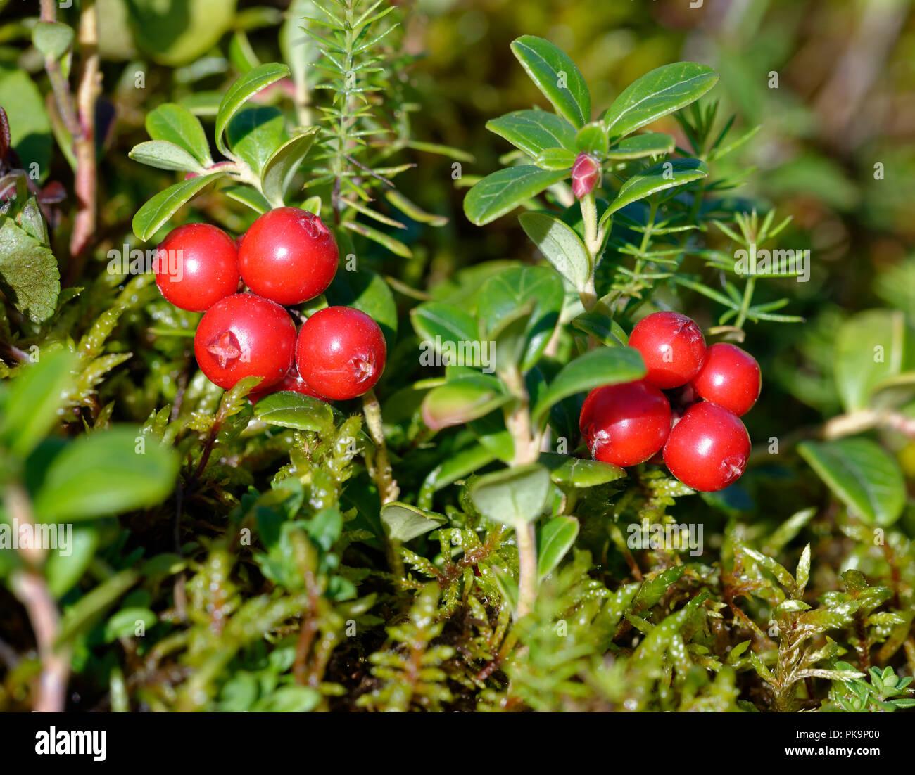 Cowberry   Vaccinium vitis idaea Red Berries of Highland Plant ...