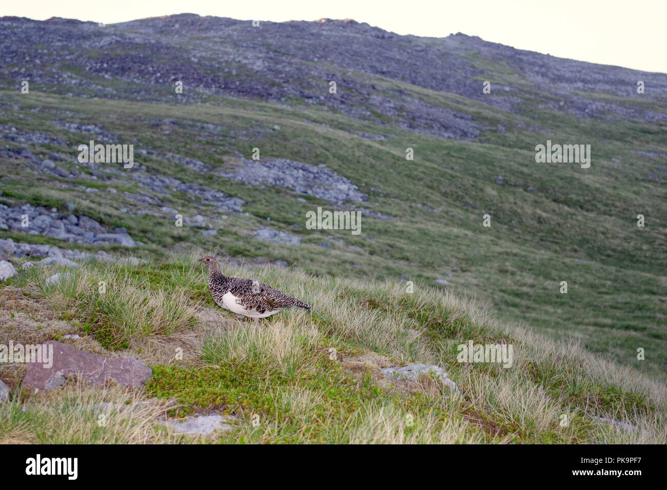 Female Ptarmigan (Lagopus muta) on Meall a'Ghiubhais Mountain. Beinn Eighe, Kinlochewe, Torridon, Scotland, UK. June, 2018. Stock Photo
