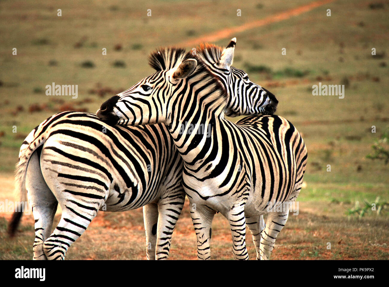An image to make you smile.  Two Zebras showing affection by rest their heads on one another's rumps.  A great background or backdrop. - Stock Image