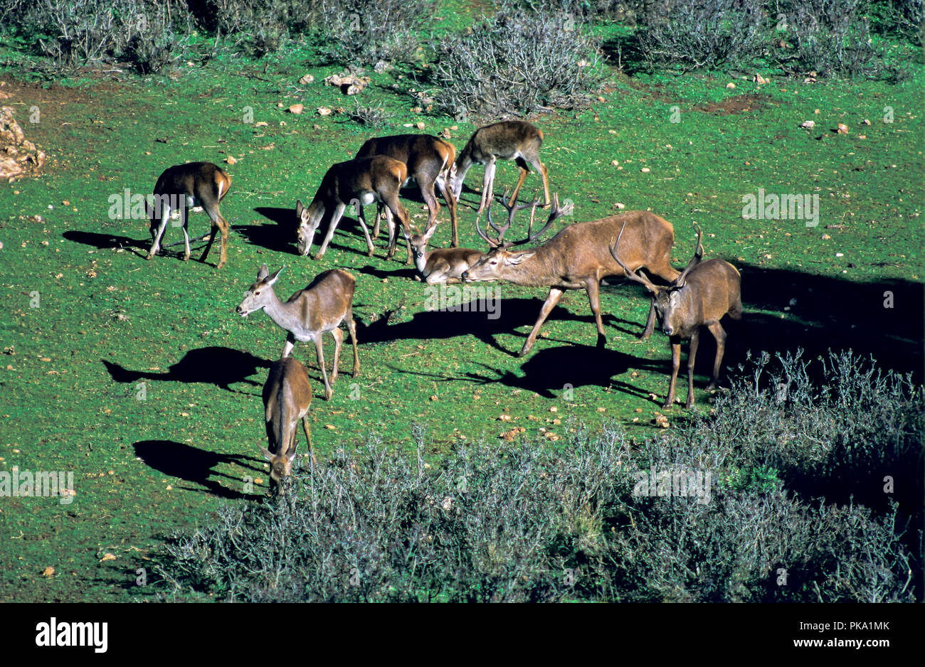 A Red deer group. Sierras de Cazorla, Segura y Las Villas Natural Park. Jaen province. Region of Andalusia. Spain. Europe - Stock Image