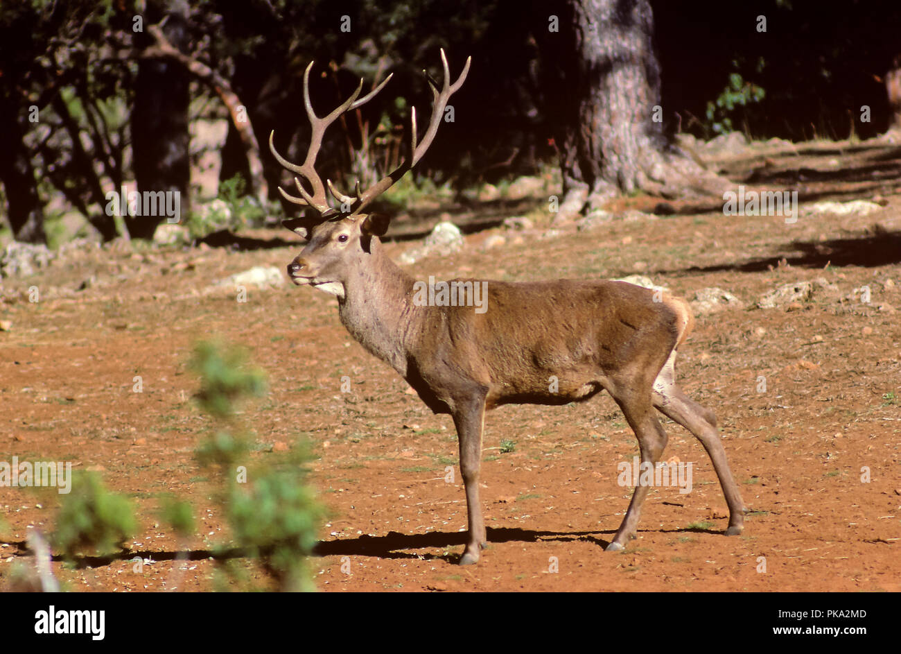 A Red deer. Sierras de Cazorla, Segura y Las Villas Natural Park. Jaen province. Region of Andalusia. Spain. Europe - Stock Image