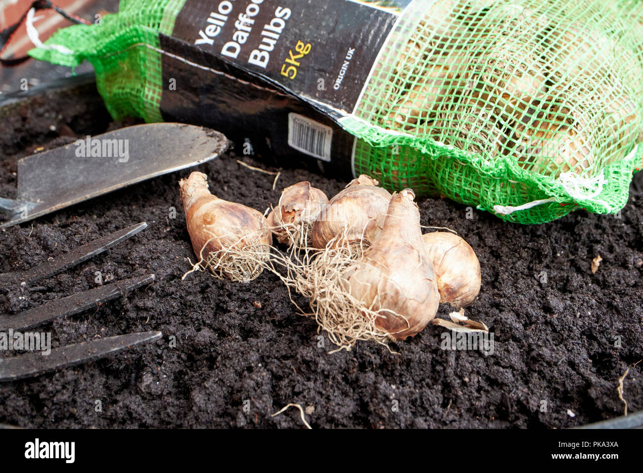 planting spring flowering daffodil bulbs in autumn in a garden in the uk - Stock Image