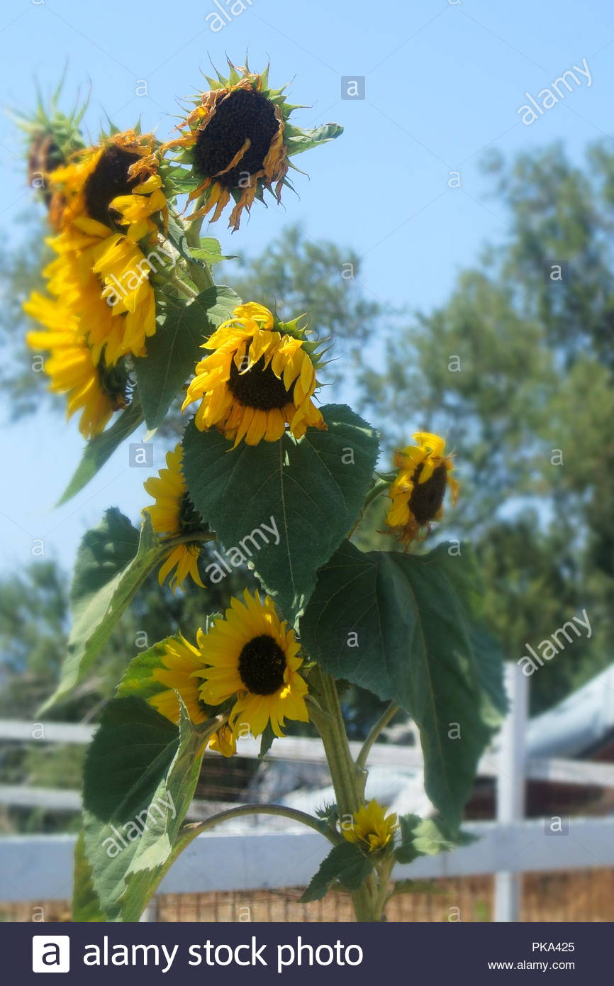 Sun flowers in the baking heat of a Greek summer on the island of Santorini. Stock Photo