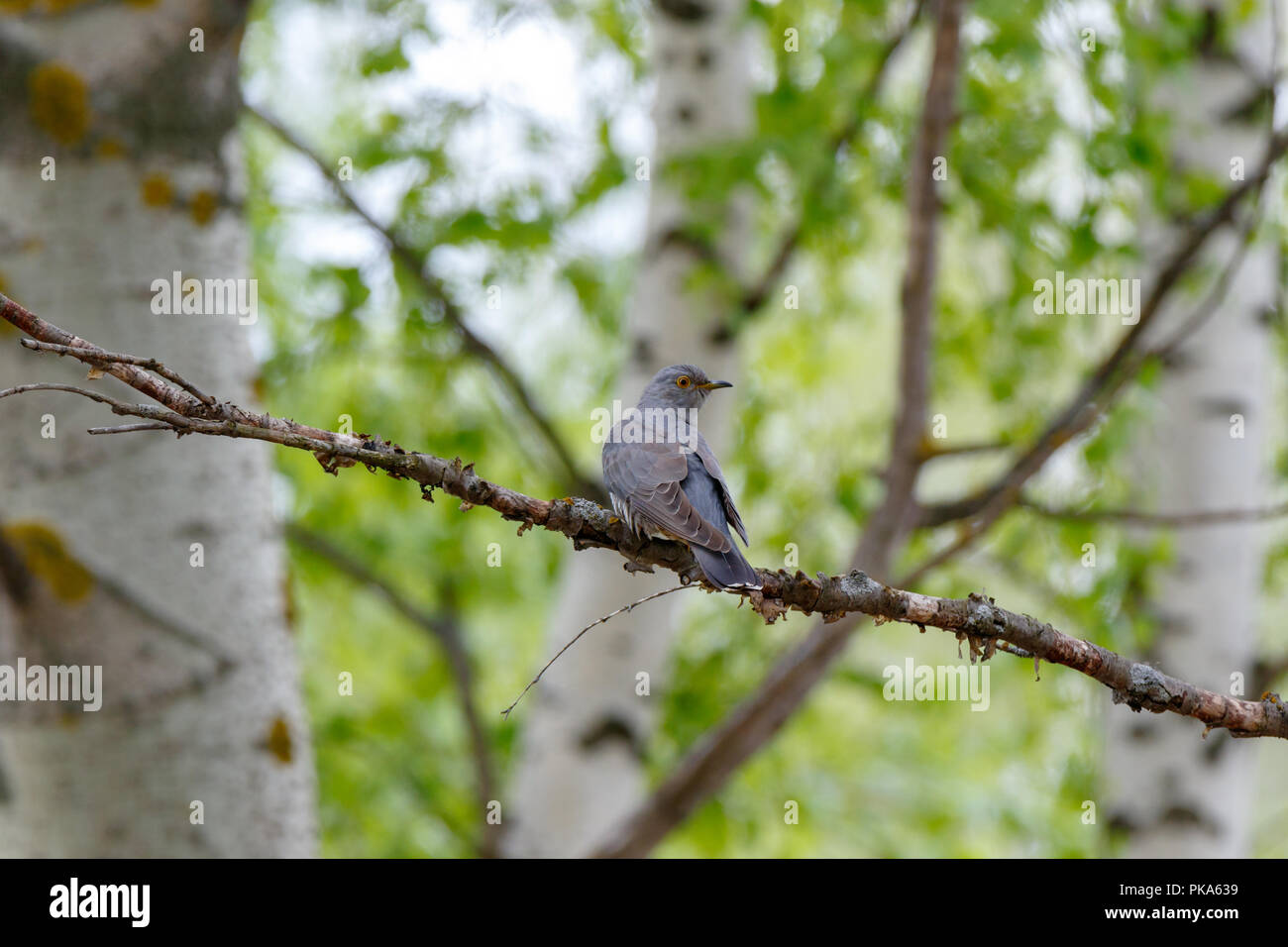 Common Cuckoo (Cuculus canorus). Russia, the Ryazan region (Ryazanskaya oblast), the Pronsky District, Denisovo. - Stock Image