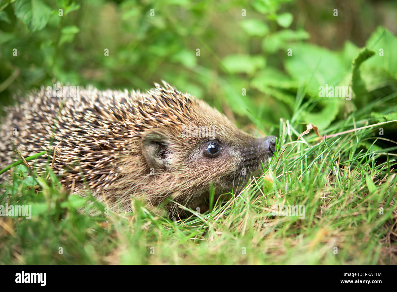 Small cute hedgehog walking in a grass - Stock Image