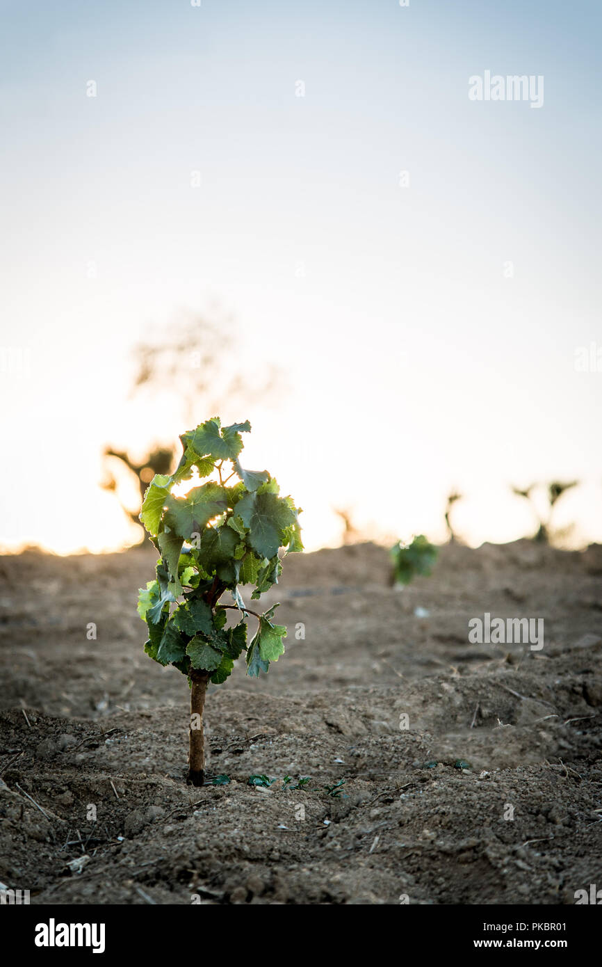 grapevine at sunset - Stock Image