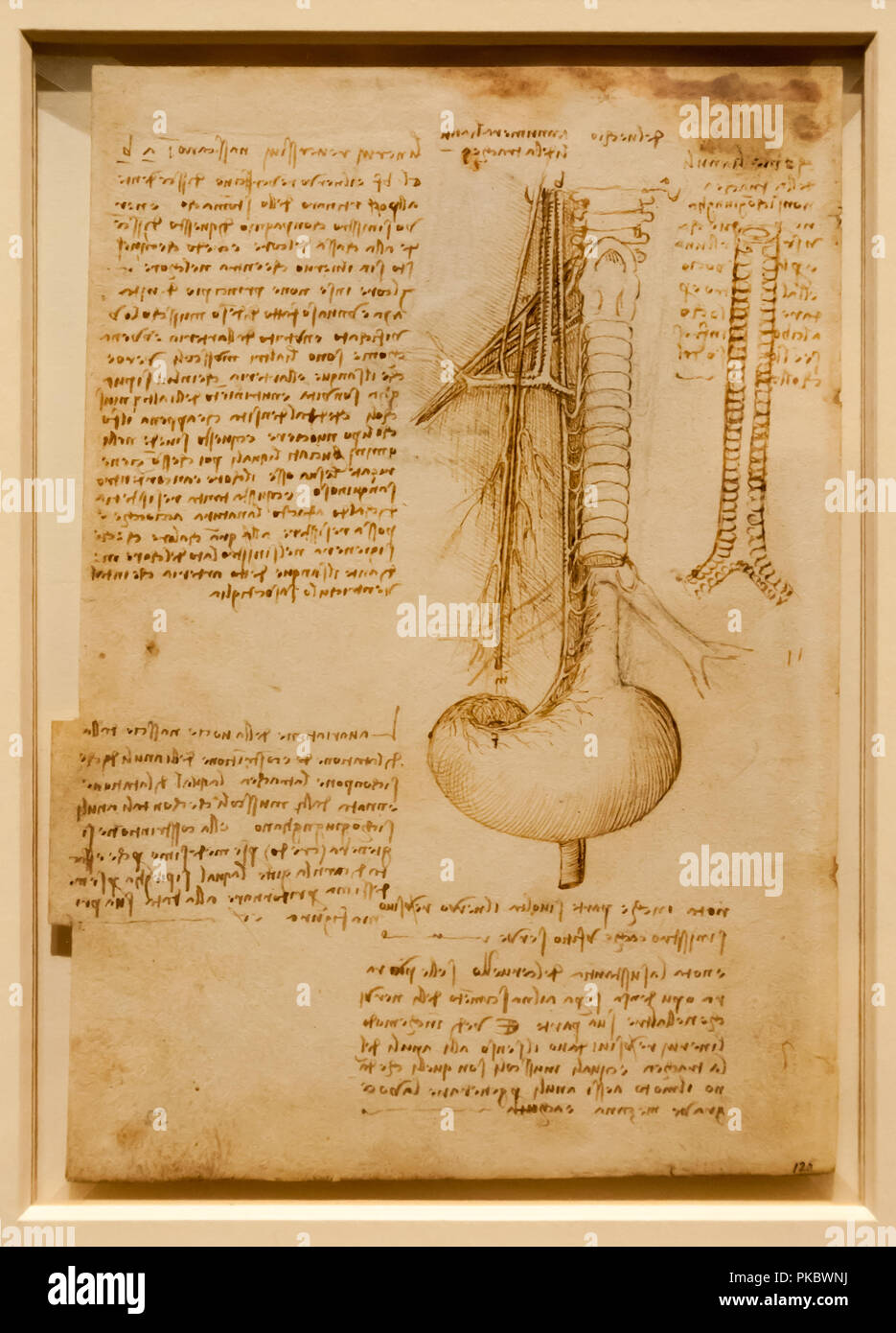 Leonardo da Vinci's human spine anatomical drawing at The Queen's Gallery, London, England, UK - Stock Image