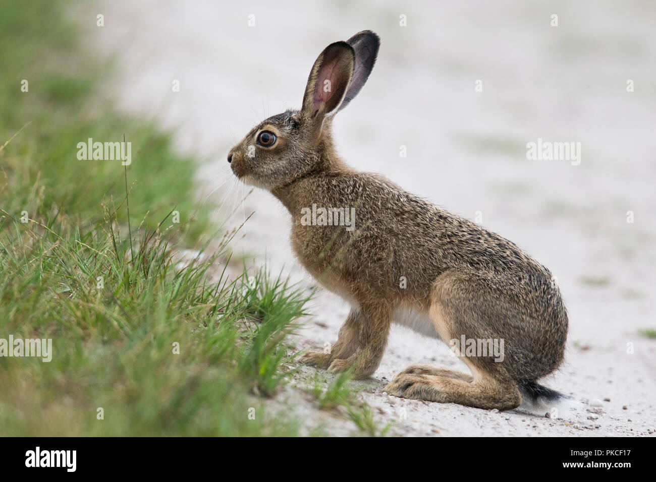 European hare (Lepus europaeus), young animal sits at the wayside, Emsland, Lower Saxony, Germany - Stock Image