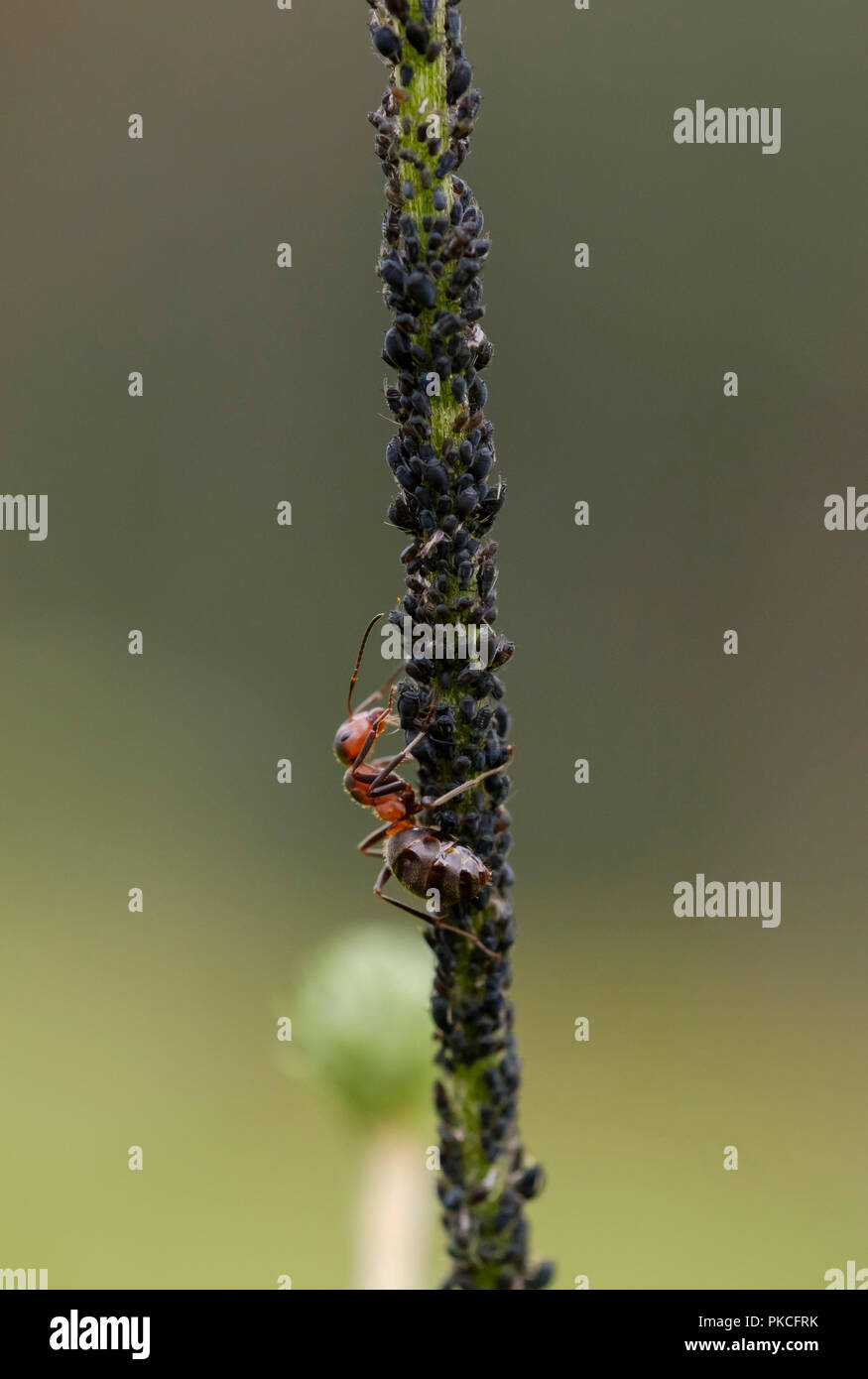 Red Wood Ant (Formica rufa) milks aphids, Germany - Stock Image