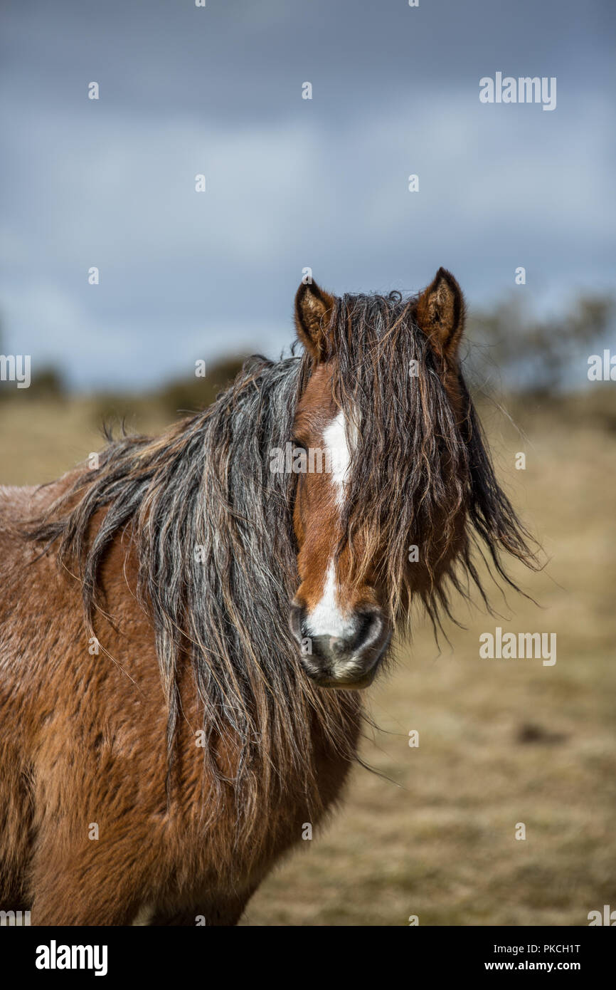 Wild moorland pony on Bodmin Moor, Cornwall - Stock Image