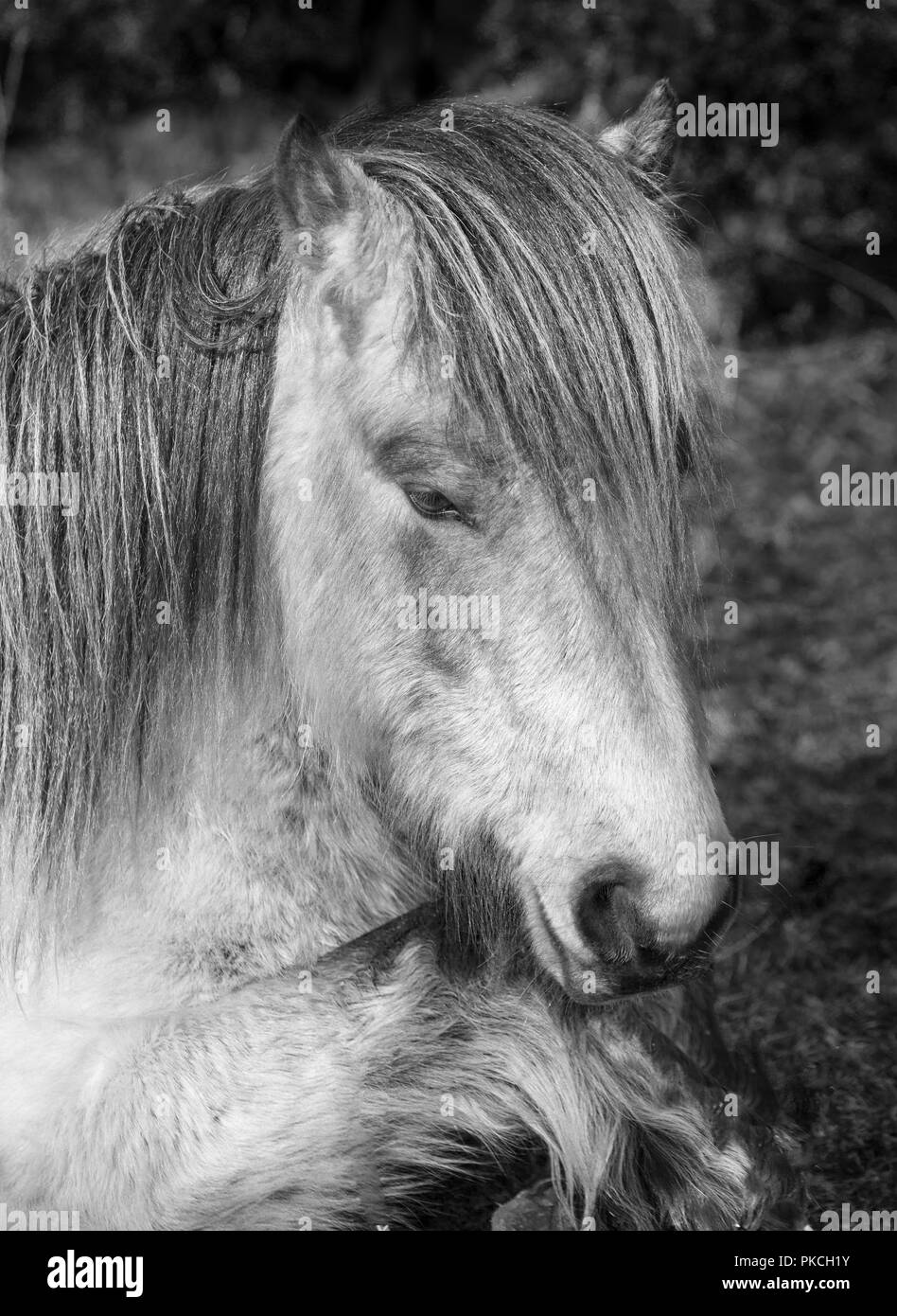 Sleepy wild moorland pony, Bodmin Moor, Cornwall Stock Photo