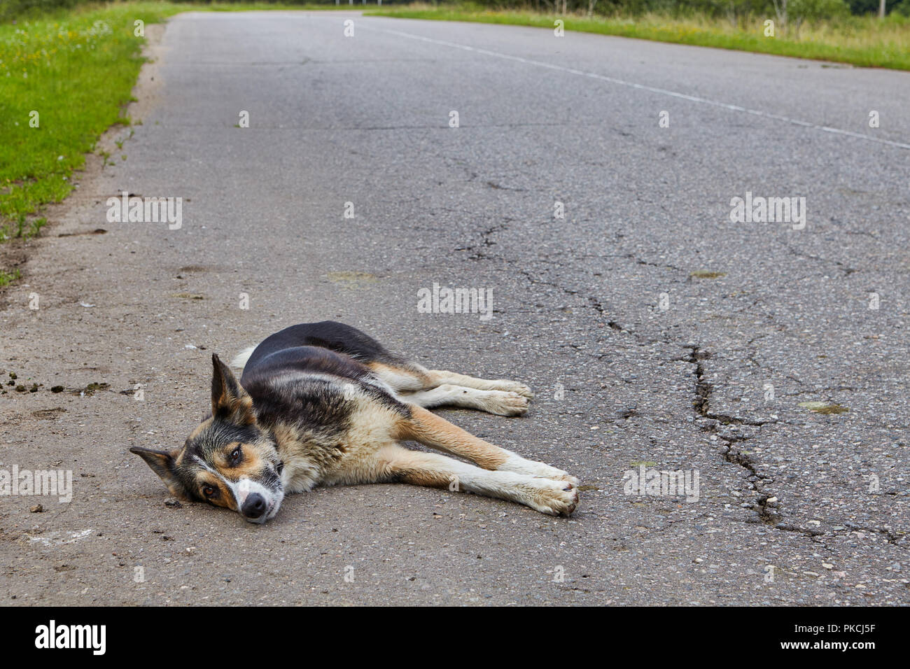 A non-pedigree dog rests on the roadway of an asphalt road in the countryside. - Stock Image