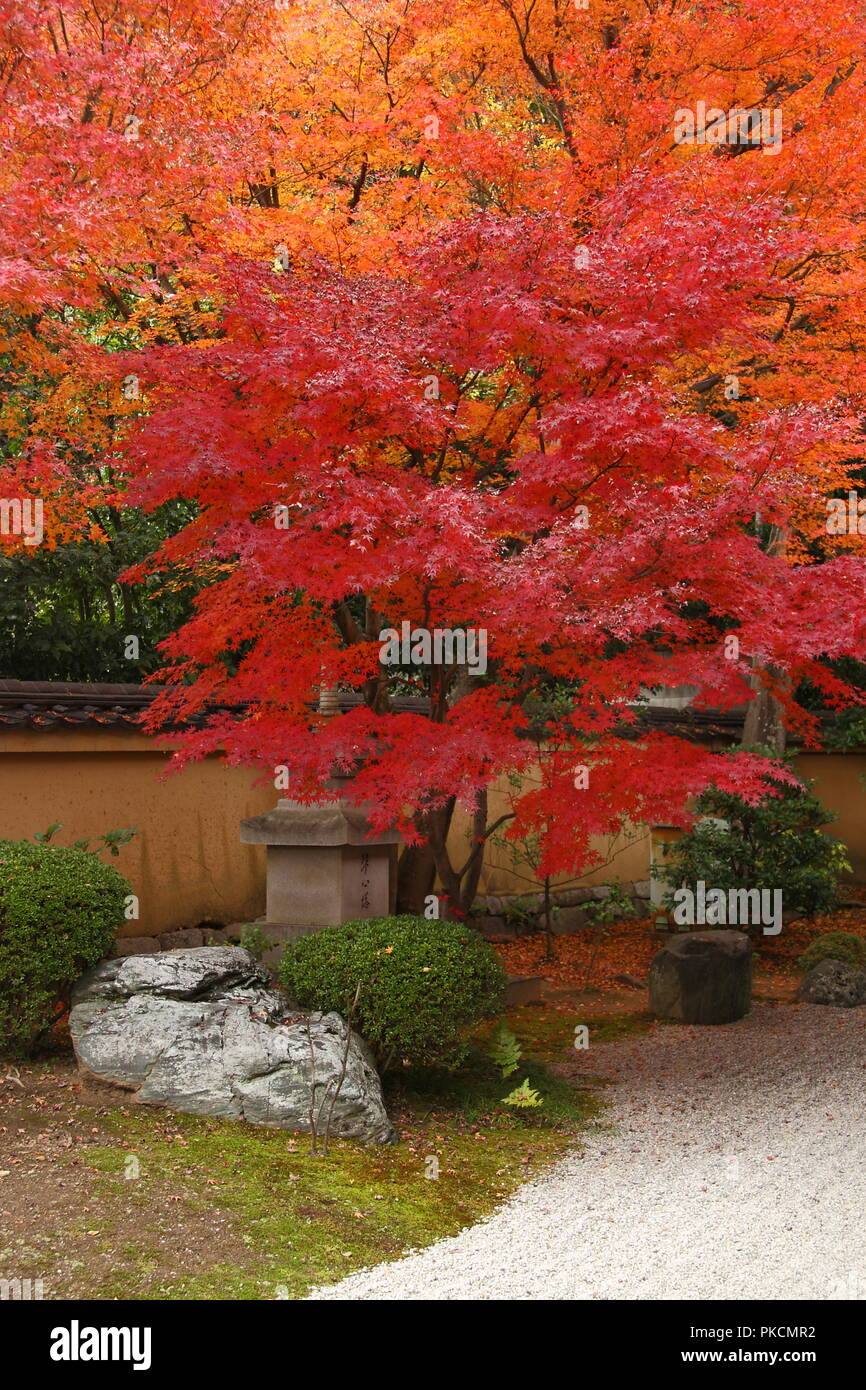 Japan in autumn (red maple trees in japanese gardens of Kyoto) - Stock Image