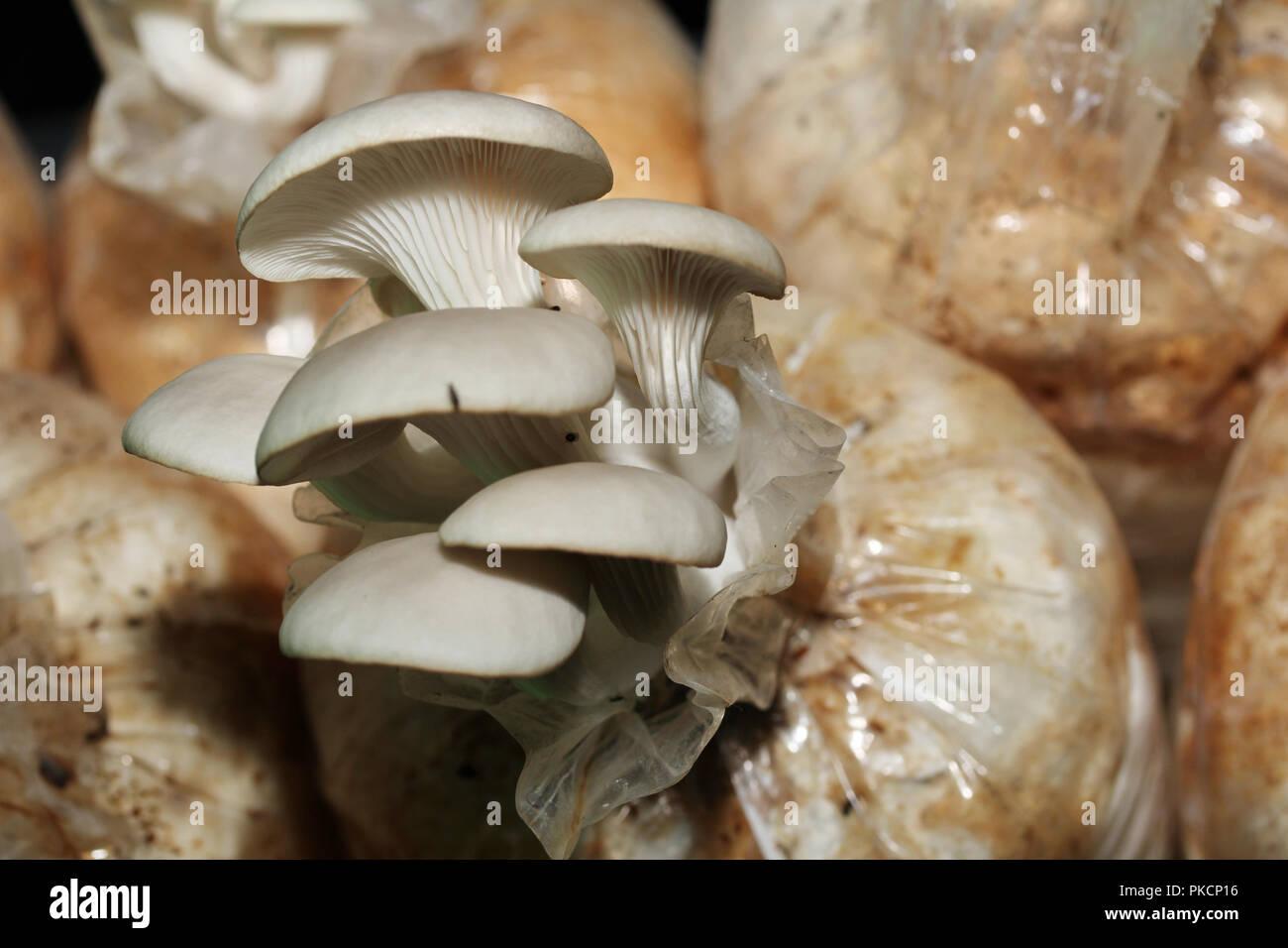 Oyster Mushroom Spawn Stock Photos & Oyster Mushroom Spawn Stock