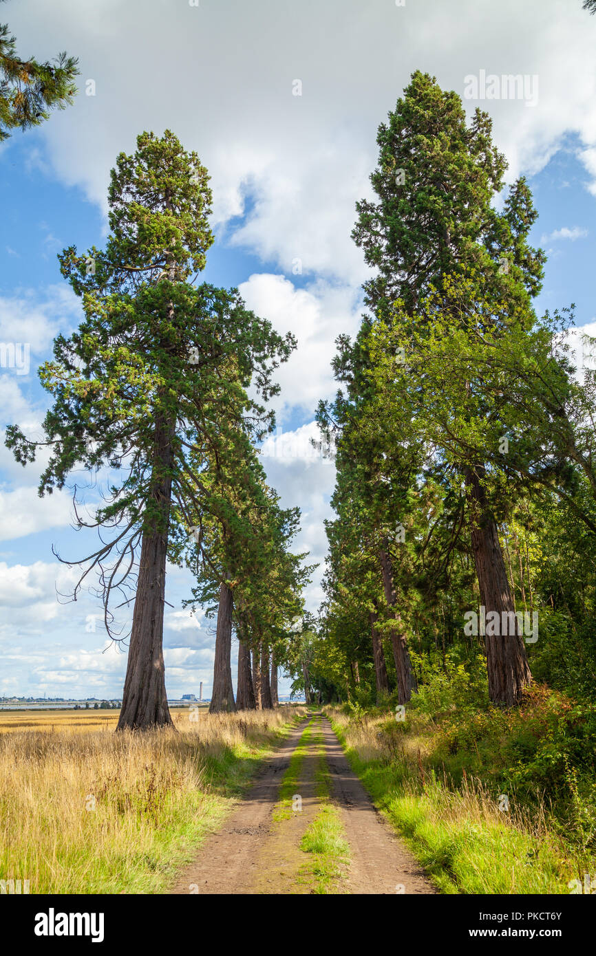 An avenue of Giant Redwoods near Dunmore Village Airth Scotland. - Stock Image