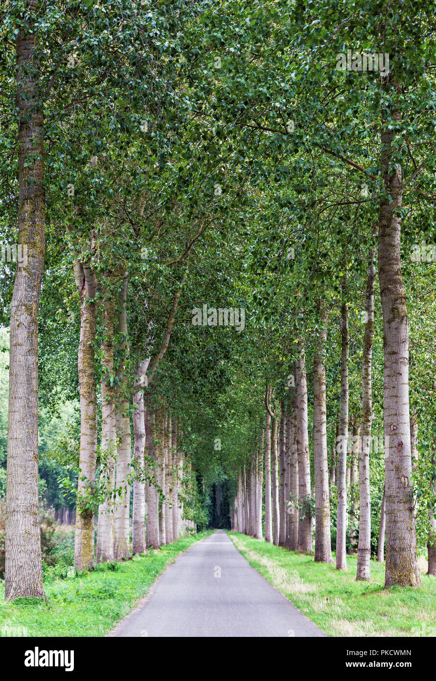 Empty country road lined by green tree alley, landscape picture with vanishing point - Stock Image