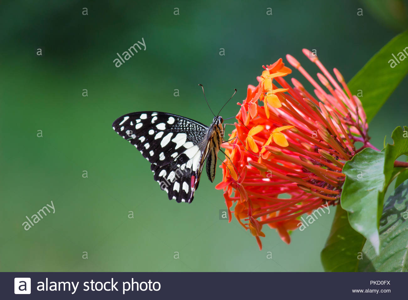 The Common Lime Butterfly Stock Photo