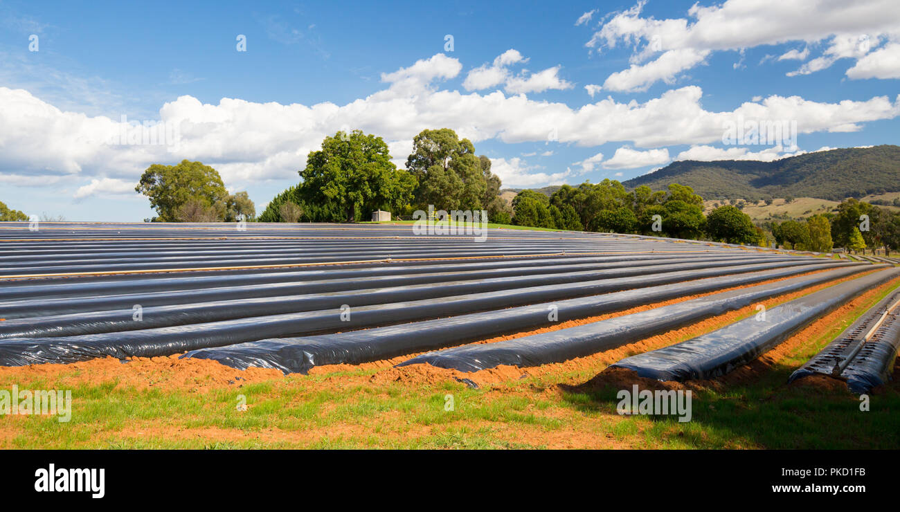 Australian Strawberry Farm Area - Stock Image