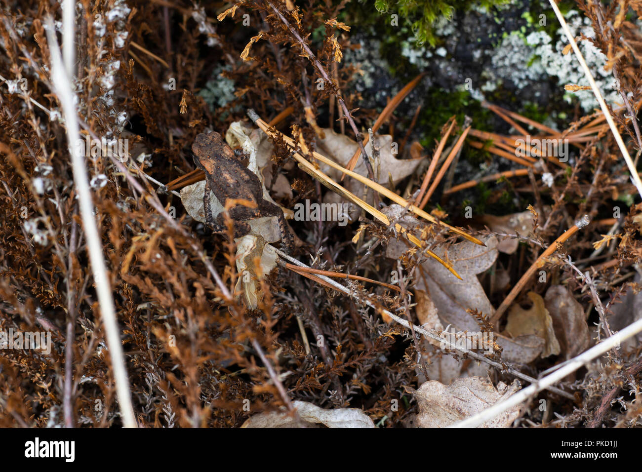 Common frog camouflaged by similar colored forest ground. - Stock Image