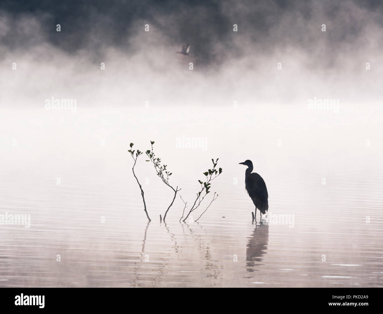 Grey heron gazing out over a misty lake with a mallard duck flying past - Stock Image
