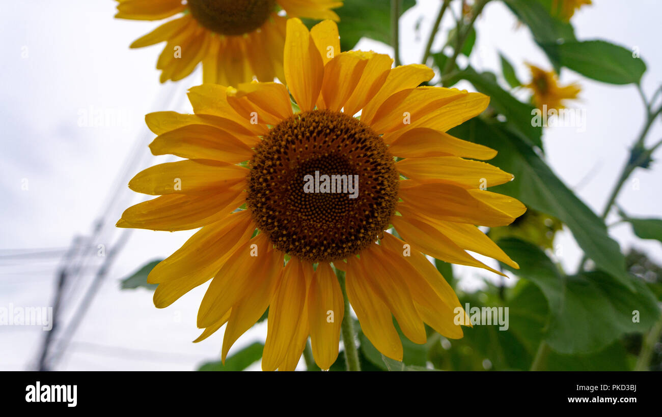Summers end Sunflower with translucent overlapping petals - Stock Image
