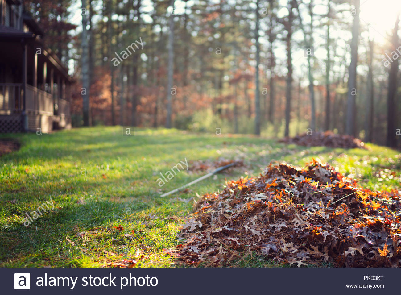pile of raked up autumn leaves on front lawn with rake beside it and partial house views in background with low sun in the background - Stock Image