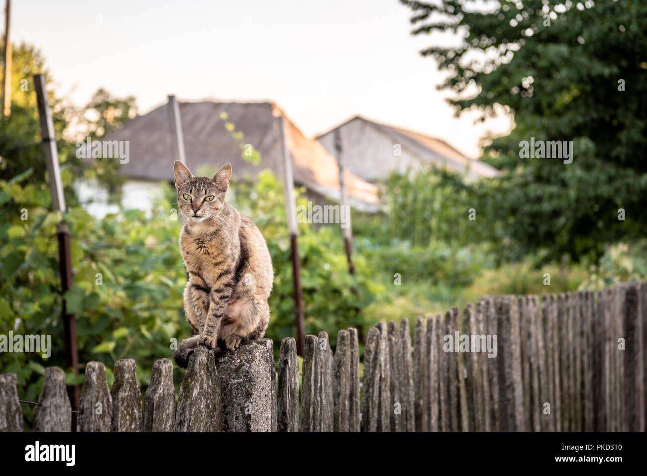 https://c8.alamy.com/comp/PKD3T0/adult-cat-sits-on-a-weathered-wooden-fence-in-a-countryside-scenery-PKD3T0.jpg