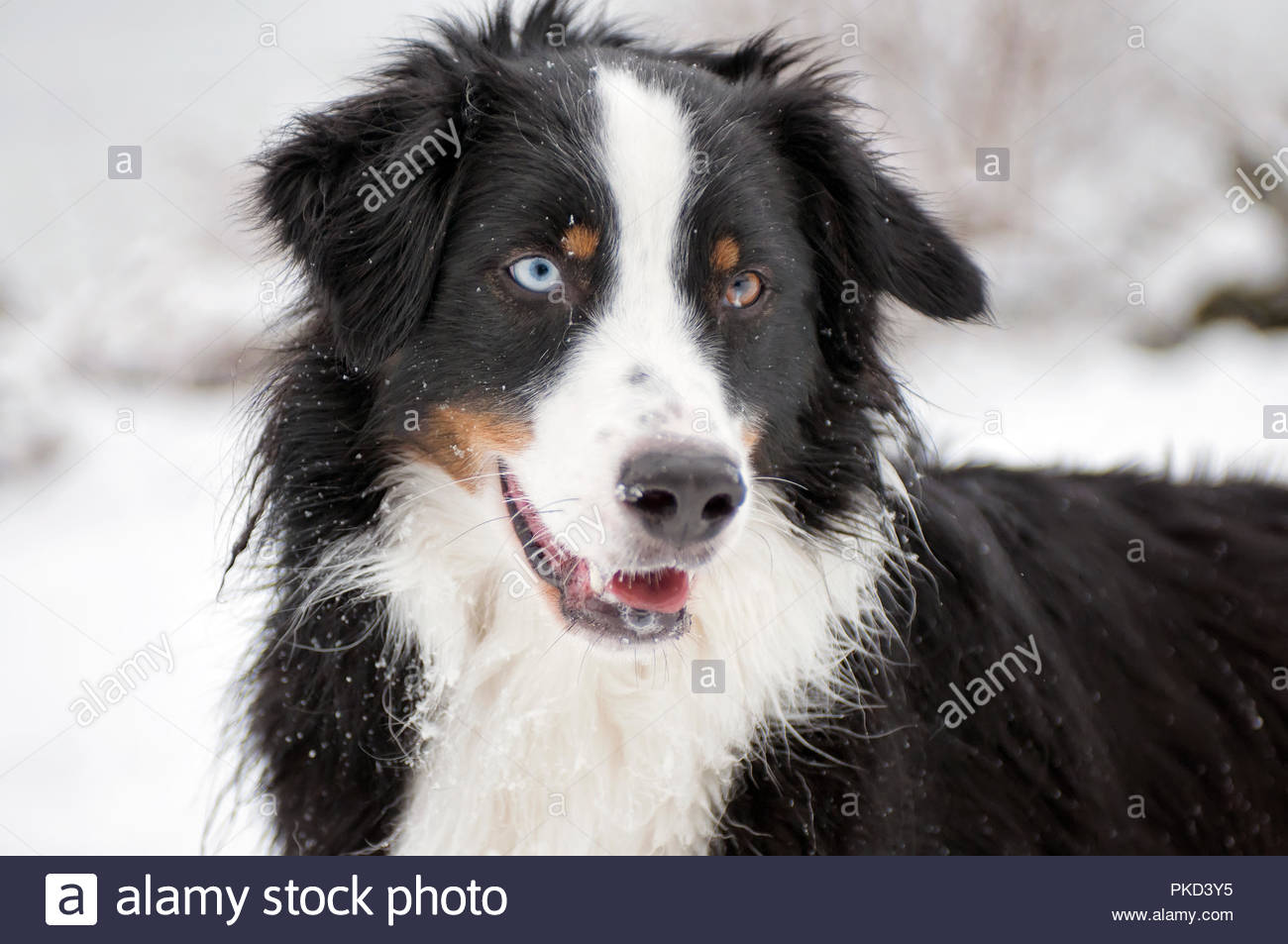 Black Tri Australian Shepherd With Blue And Brown Eye Stock