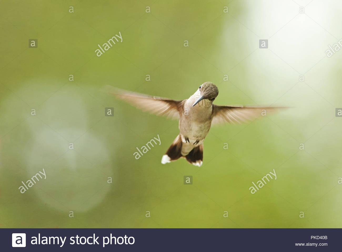 hummingbird with head tilted facing camera - Stock Image