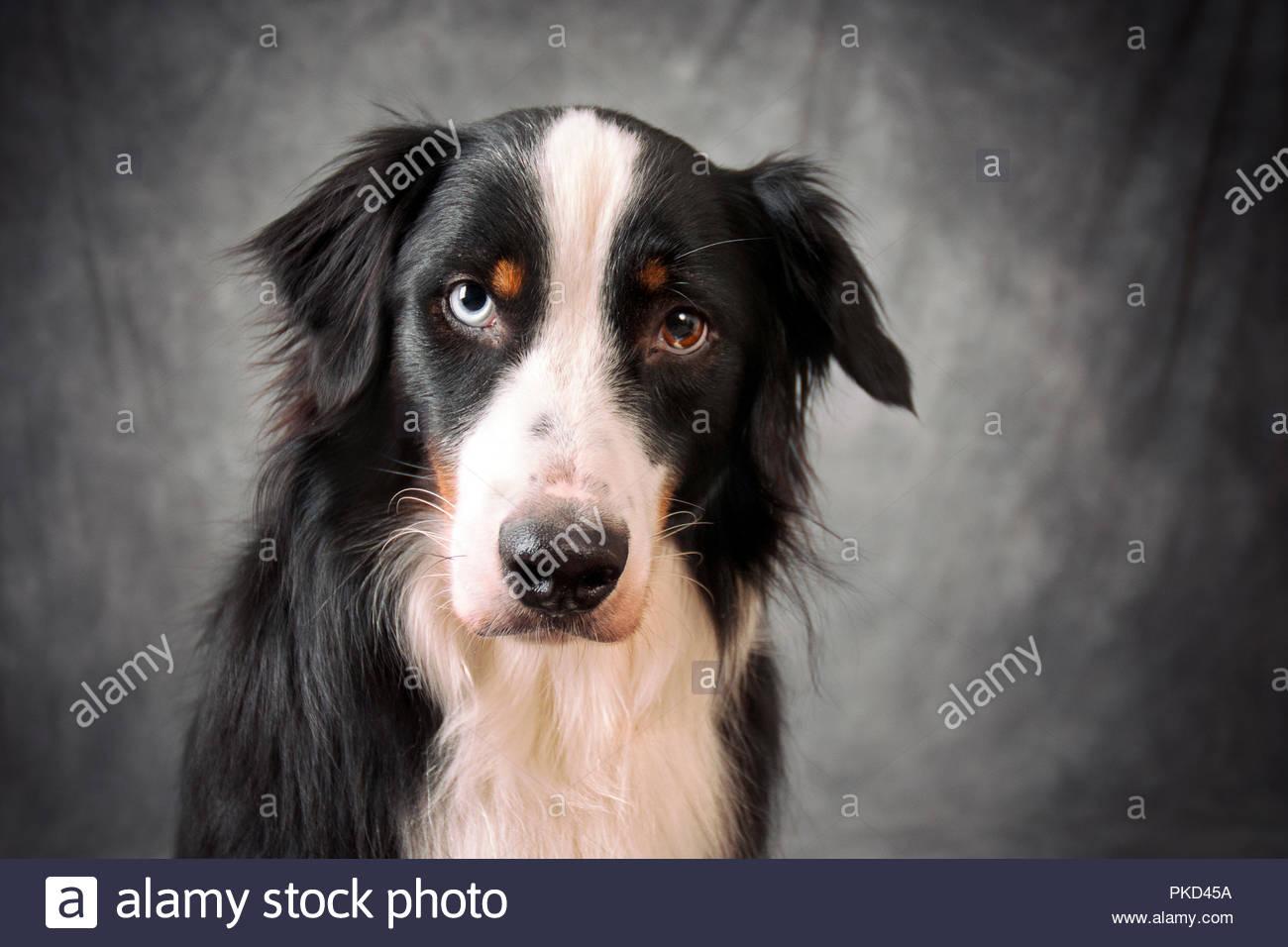 portrait of black tri australian shepherd with one blue eye and one brown eye on gray swirled backdrop - Stock Image