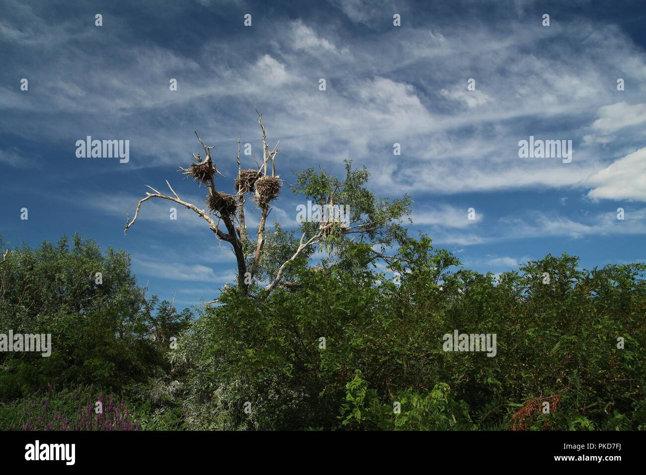Dead tree with bird nests. - Stock Image