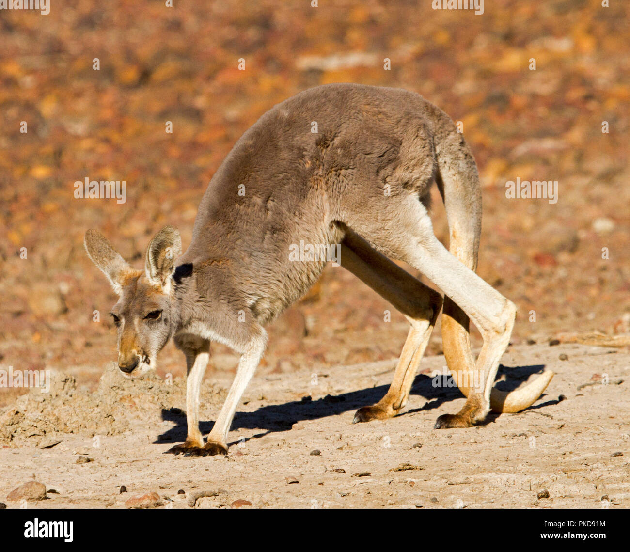 Red kangaroo, Macropus rufus, on barren red soul of Australian outback during drought at Culgoa Floodplains National Park, Qld - Stock Image