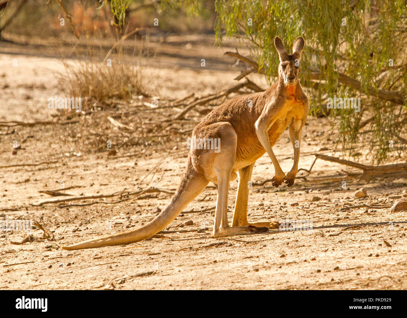 Male ed kangaroo, Macropus rufus, on barren red soul of Australian outback during drought, staring at camera, at Culgoa Floodplains National Park, Qld - Stock Image