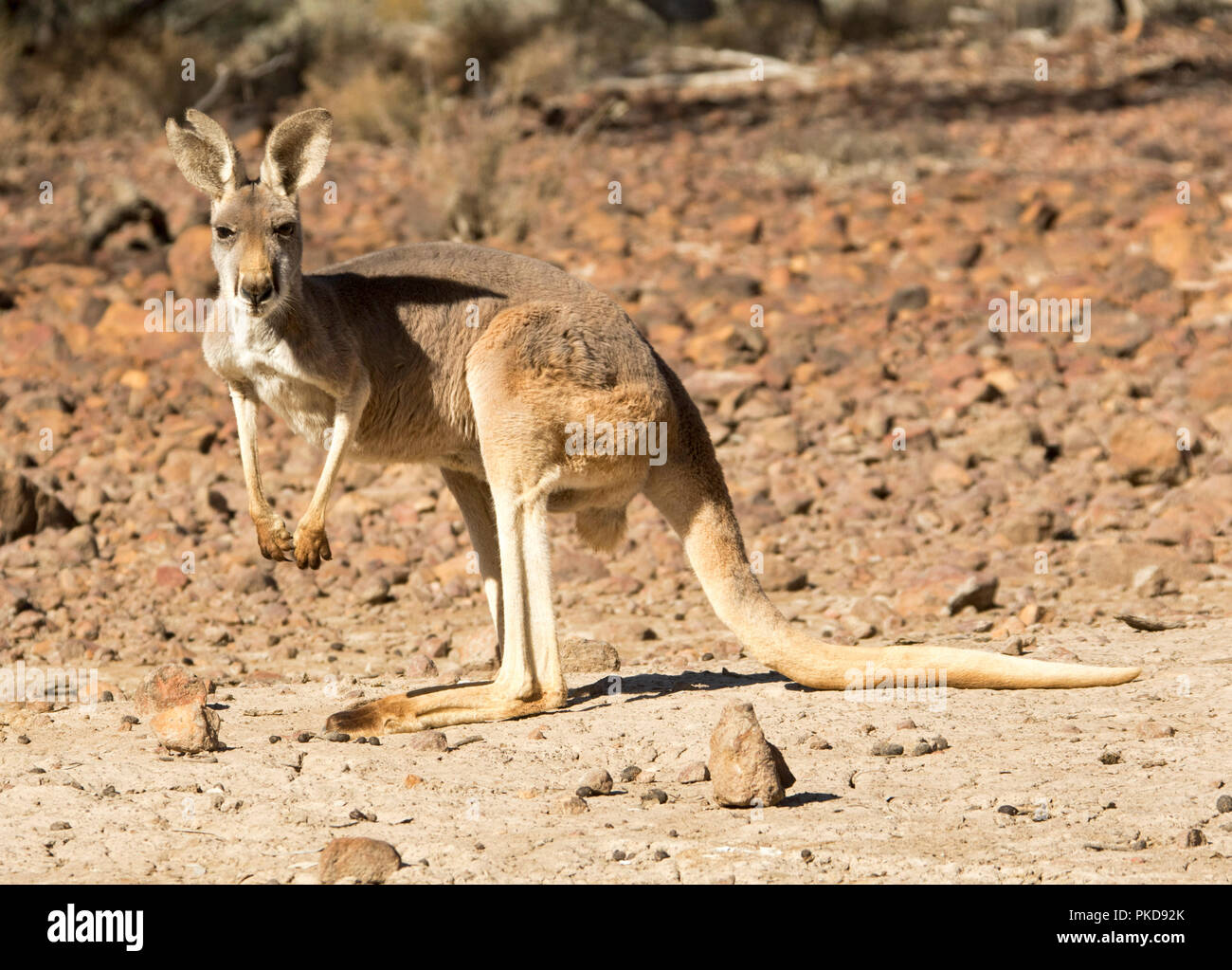 Red kangaroo, Macropus rufus, on barren red soul of Australian outback during drought, staring at camera, at Culgoa Floodplains National Park, Qld - Stock Image